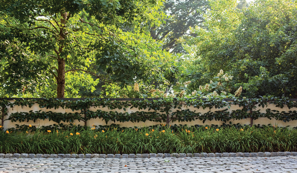 espaliered Asian pears on wall